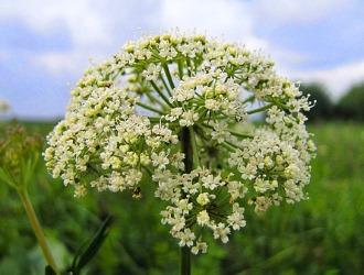 Трава камнеломка известна также противовоспалительным и антисептическим свойством