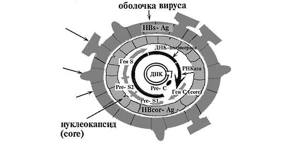 Строение вируса гепатита В