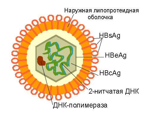 Структура вируса гепатита В