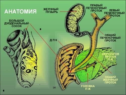 На картинке изображена желчевыводящая система. При сбоях в ее работе может появляться механическая желтуха.